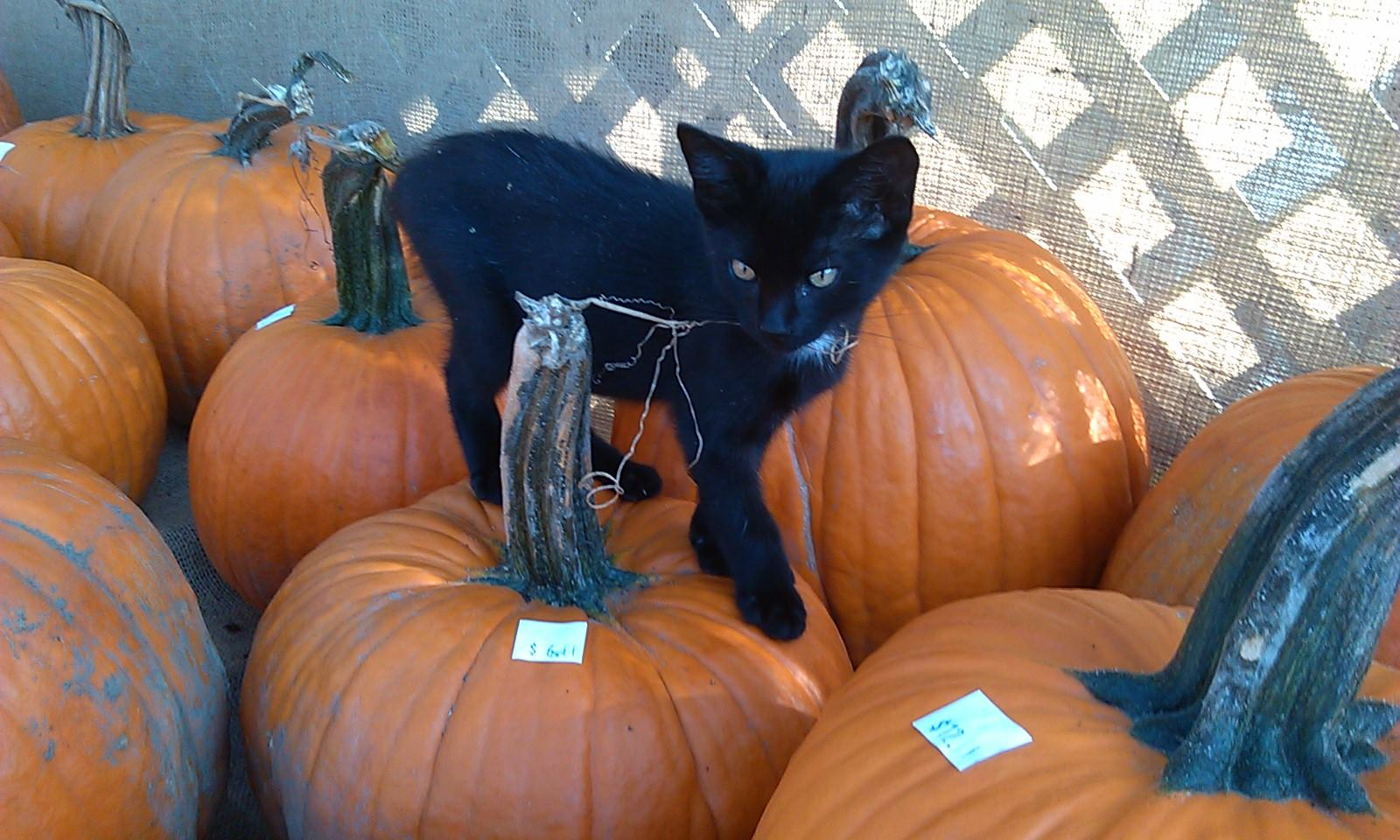 Cat on Pumpkin