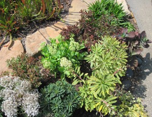 Euphorbias in a rocky garden with Sedums and Gypsophila.
