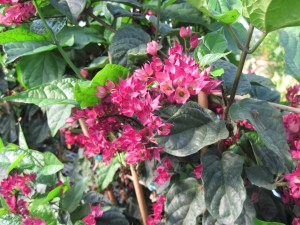 Clerodendrum 'Red Jade' is attractive even after all that remains are the purply-pink calyxes.