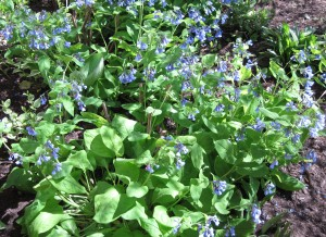 Virginia Bluebells are divided by diddling out newly sprouted plantlings in the spring.