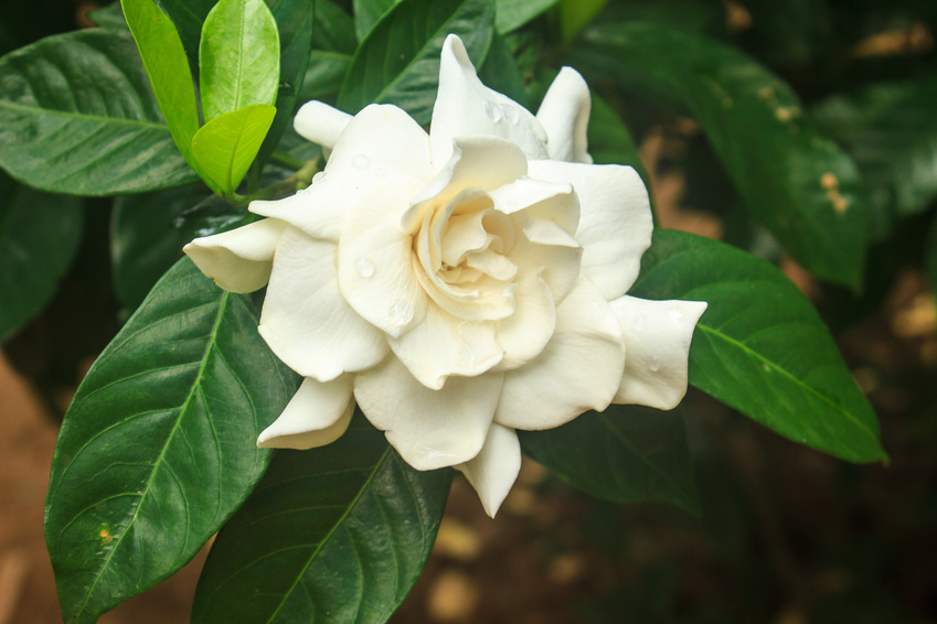 Gardenia jasminoides is one of the most fragrant flowers to be found anywhere.