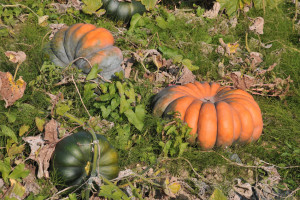 Musque de Provence pumpkins are also known as Fairytale pumpkins in the US.