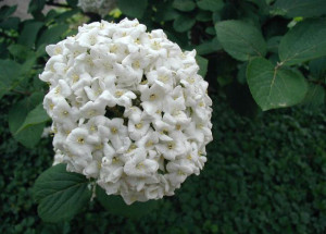 Viburnum carlcephalum's snowball blossoms clusters are followed by maroon fall foliage.