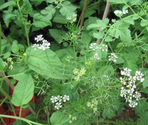 Dill, like its cousin cumin, bears seeds that aid in digestion, as do its leaves.