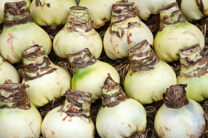 Look for large, firm, white bulbs with a minimum of skin decay or damage.