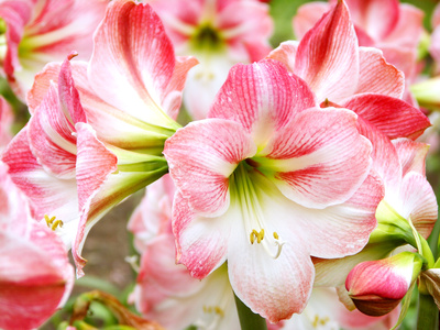 Summer blooming amaryllis are moderately cold hardy in our region.