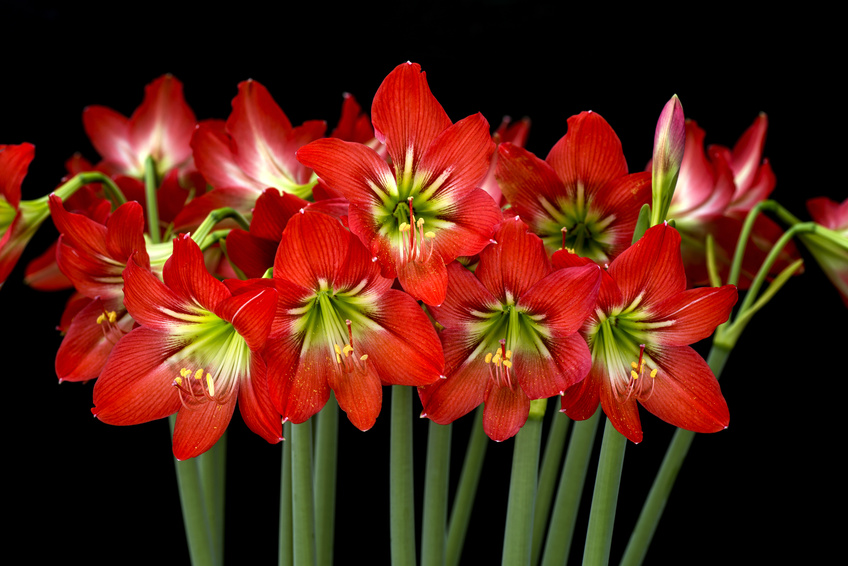 Red amaryllis are certain to brighten the dreariest winter days.