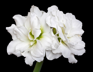 This amaryllis sports gardenia-like blossoms and is mildly fragrant.