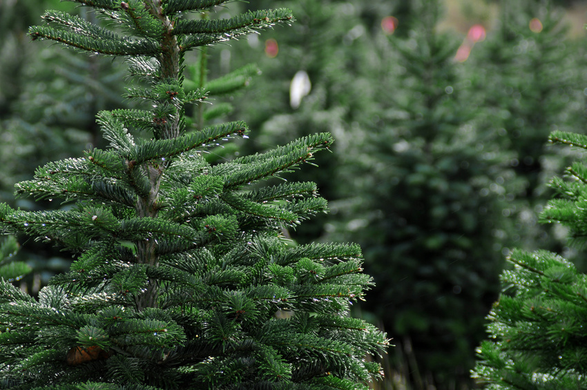 keeping your fresh cut christmas tree fresh as a daisy - How Long Do Real Christmas Trees Last