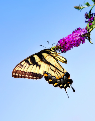A female Eastern Tiger Swallowtail sips nectar from Buddleia flowers.
