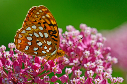 The Great Spangled Fritillary sporadically appears in southern states.