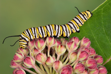 This Monarch caterpillar is taking a rest on the unopened flower buds on this milkweed after dining on the leaves. (Photo © Cathy Keifer – Fotolia.com)