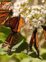 Monarch butterflies feed on Eupatorium blooms.