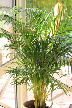 Potted palms are beautiful, calming additions to any interior.