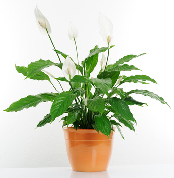 Spathiphyllum is recognized as a houseplant superhero, removing toxins from indoor air while maintaining its elegant composure.