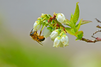 This does not appear to be a Southeastern Blueberry Bee.