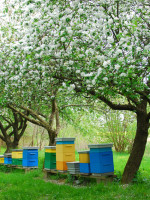 The demand for world traveler honeybees to pollinate fruit and nut crops around the world has put undue stresses on the bees.