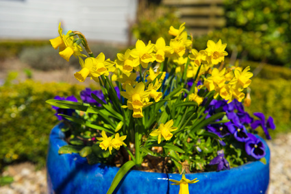 Pansies make perfect container companions for early spring flowering bulbs.