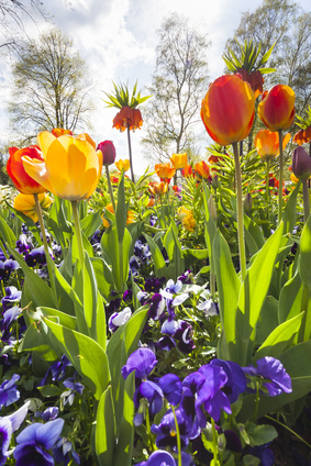 These blue pansies provide both compliment and contrast with these tulips and fritillarias.
