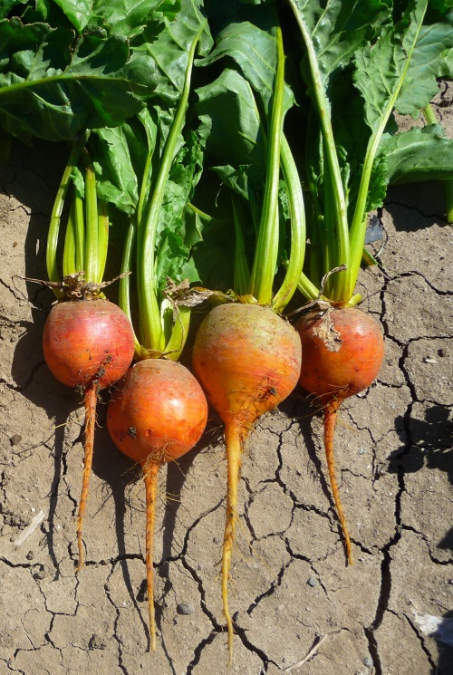 Beets are one of many cold hardy root vegetables that do well in our area.