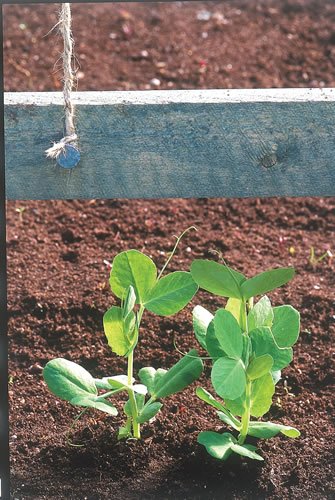 Peas, with proper protection from the cold, can be grown into the winter months.