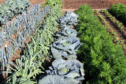 This fall into winter garden contains a variety of cold hardy crops.