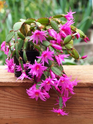 This lovely Easter cactus is also native to the Brazilian rainforests.