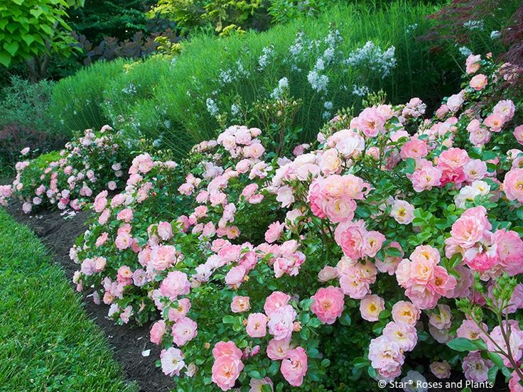 Apricot Drift® rose planted at the front of a perennial border.