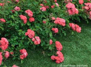 Coral Drift® rose bears bright, attention grabbing blossoms.