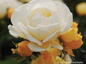 Popcorn Drift® rose opens yellow and fades to white, often with a light pink blush.