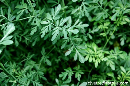 Rue herb plant is stunning.