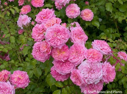 Sweet Drift® rose is reminiscent of old heirloom roses.