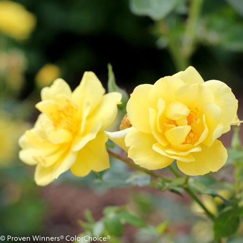 Oso Easy® Lemon Zest has bright yellow flowers that do not fade when fully opened.