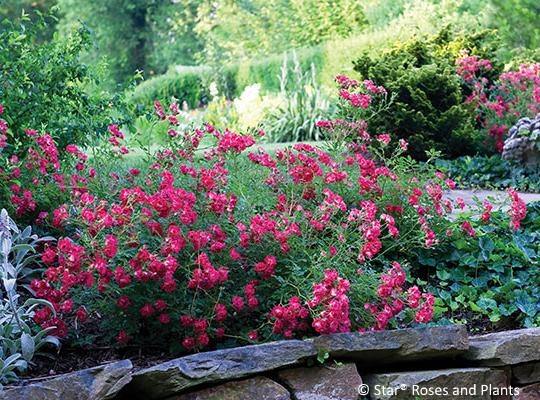 Red Drift® Rose has small blossoms, reminiscent of red crape myrtle.