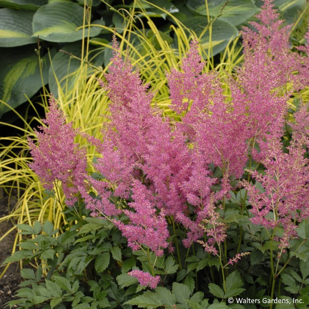 Astilbe's fernlike foliage and striking flower plumes pack a punch in shady borders and container plantings.