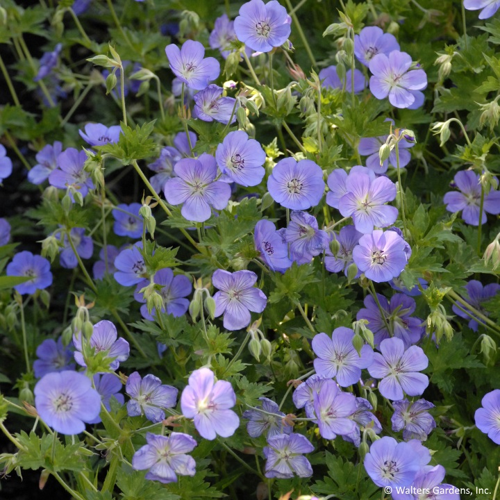 Cranesbill has a long blooming season, and can take filtered to full sun, making it a great groundcover for areas that are lightly shaded.