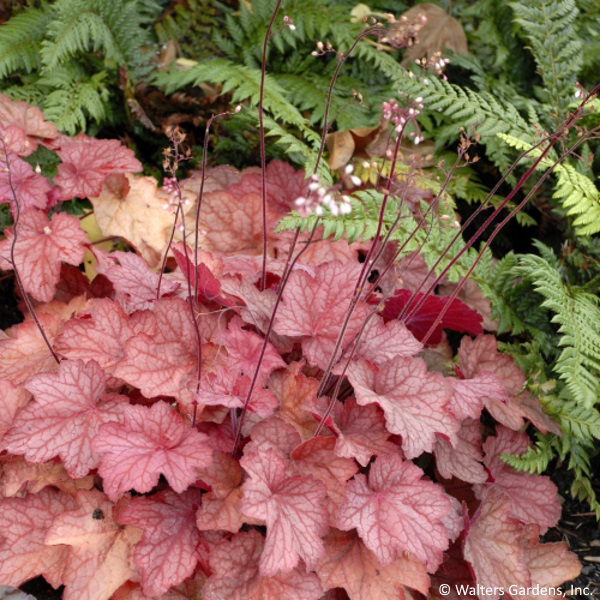 "The delicate blooms hovering over the heuchera plant explain its common name ""coral bells""."