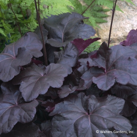"The leaves of heuchera ""Obsidian"" are reason enough to include this beauty as an accent in your shade garden."