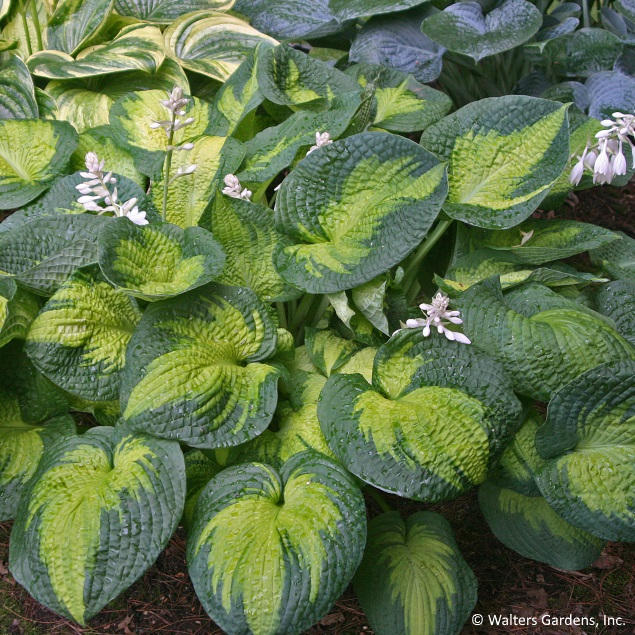 With texture and bold colors like this, is it any wonder hostas are one of the most beloved plants for shade plantings?