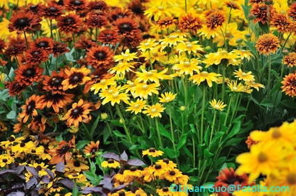 This planting uses various cultivars of rudbeckia very effectively.