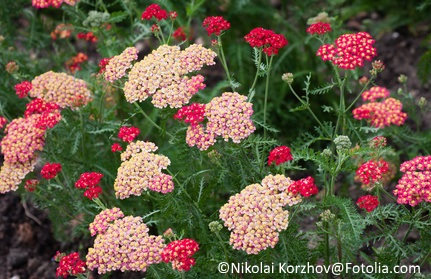 Yarrow (Achillea) comes in a rainbow of colors, and provides a soft, carefree look in the garden.