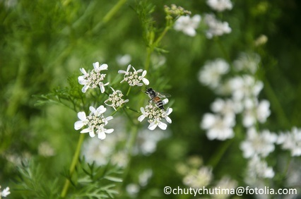 Allowing herbs such as cilantro or parsley to flower can attract beneficial insects to the garden.