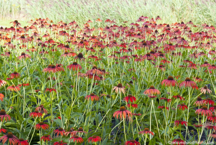 This large swath of echinacea is truly a work of art.