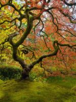 Japanese Maple in Portland Japanese Garden