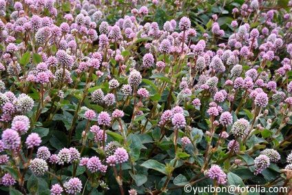 Pink jumpseed is a great groundcover for sun or shade. It forms a dense mat, about five feet in diameter. In cold weather, it may drop its leaves, but it will bounce back in the spring.