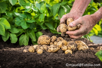 When harvesting potatoes, don't wash them. Just knock off the biggest chunks of dirt, and let them air dry outdoors until the dirt on them dries.