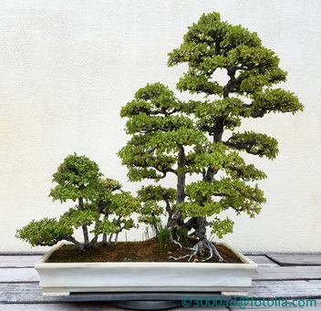 Even a bonsai forest needs repotting and root pruning to maintain its diminutive stature and health.