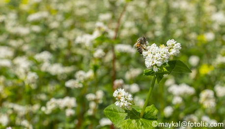 This plot of buckwheat attracts bees and beneficial insects.