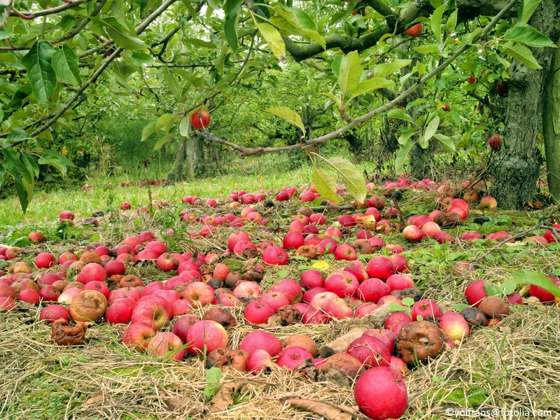 Red ripe and rotten apples under the tree.