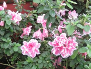 Azaleas shouldn't be pruned this fall, because the flower buds have already set.